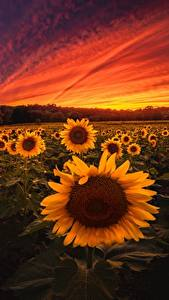 Фотография Рассветы и закаты Подсолнечник Поля Цветы Природа