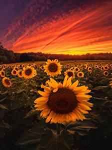 Обои для рабочего стола Рассветы и закаты Подсолнечник Поля Цветы Природа