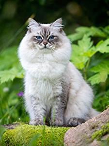 Картинка Кошки Взгляд Neva Masquerade Cat, Natalia Lays Животные