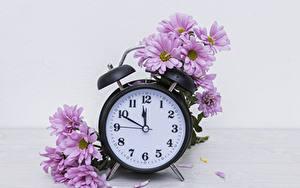 Фото Хризантемы Часы Розовые Цветы