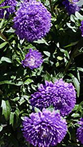 Картинки Астры Вблизи Фиолетовый Цветы