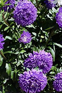 Картинки Астры Вблизи Фиолетовая цветок