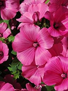 Фотография Мальва Вблизи Розовый Цветы