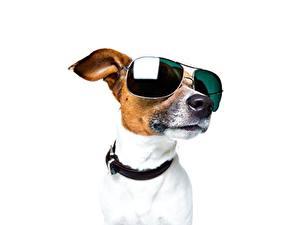 Обои Собаки Джек-рассел-терьер Очки Белый фон Голова Морда Животные