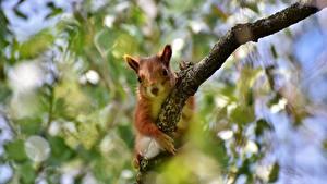 Фото Белка Ветвь Боке животное