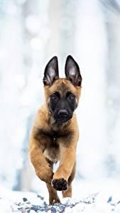 Картинка Собаки Бег Щенок Овчарка Belgian Malinois