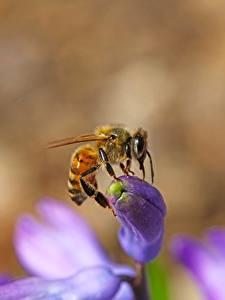 Фотография Крупным планом Пчелы Насекомые Боке Животные