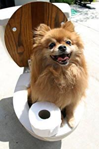 Картинки Оригинальные Собаки Туалет Шпиц Взгляд