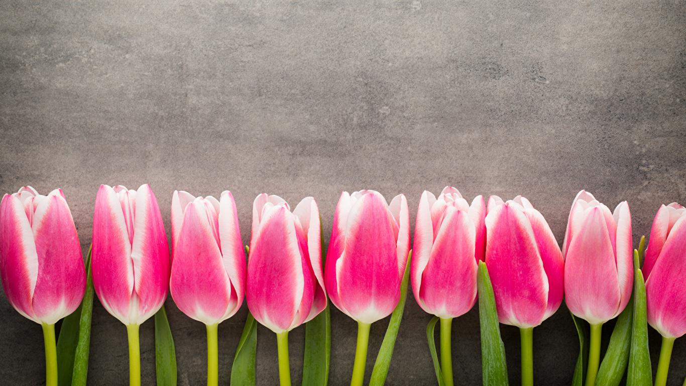 Картинка розовая Тюльпаны цветок 1366x768 розовых розовые Розовый тюльпан Цветы