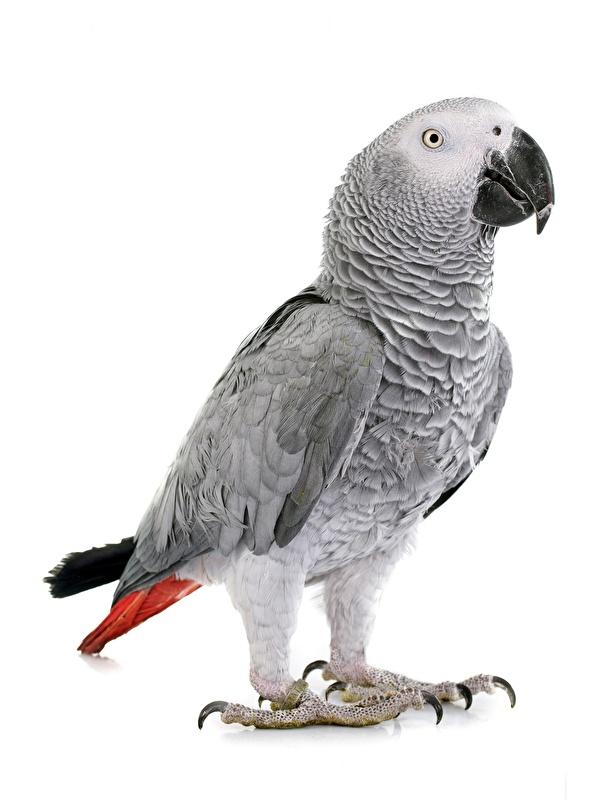 Фотография Птицы Попугаи parrot yaco, Psittacus erithacus животное белом фоне 600x800 для мобильного телефона птица Животные Белый фон белым фоном