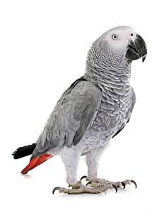 Фотография Попугаи Птица Белом фоне parrot yaco, Psittacus erithacus животное
