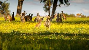 Картинки Кенгуру Австралия Боке Траве животное