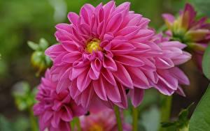 Фото Крупным планом Георгины Розовый Цветы