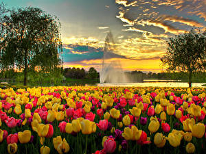 Фотография США Парки Тюльпаны Фонтаны Вечер Чикаго город Дерево Облачно Botanic Garden Природа