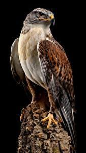 Обои для рабочего стола Птицы Ястреб Черный фон Пне ferruginous hawk Животные