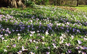 Обои для рабочего стола Англия Парки Весенние Шафран Лондон Cannizaro Park Цветы