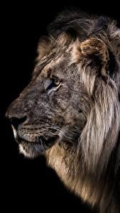 Обои Львы Головы Черный фон Животные