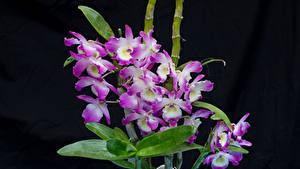 Фотография Орхидеи Крупным планом На черном фоне цветок