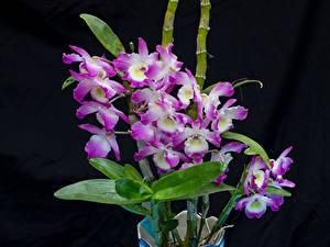 Фотография Орхидеи Крупным планом На черном фоне Цветы