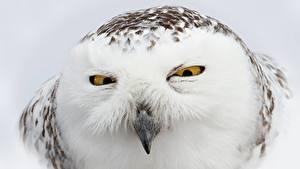 Фото Вблизи Совообразные Глаза Клюв Взгляд Головы Snowy owl животное