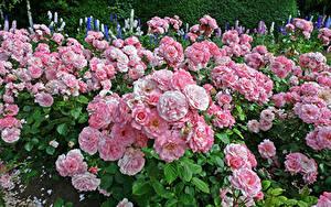 Картинки Англия Парк Розы Много Лондоне Розовых Regents Park Queens Garden цветок