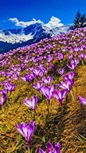 Картинка Весенние Крокусы Горы Пейзаж Цветы