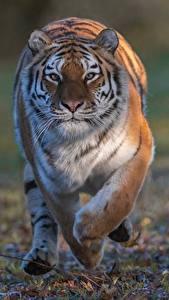 Фото Тигры Бегущий Взгляд животное