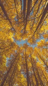 Фотография Осень Деревья Ствол дерева Вид снизу aspen