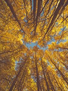 Фотография Осень Деревья Ствол дерева Вид снизу aspen Природа