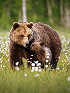 Фотографии Медведи Гризли Детеныши 2 Трава Животные