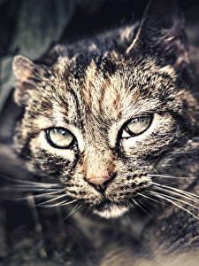 Обои Кот Смотрит Морды Усы Вибриссы Wildcat животное