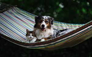 Картинки Собаки Кошка Гамаке Аусси