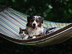 Картинки Собаки Кошка Гамаке Аусси животное