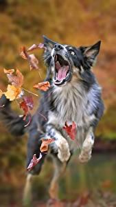 Обои Осенние Собаки Бордер-колли Прыжок Листва