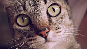 Обои Кошка Смотрит Морда Усы Вибриссы Нос Животные