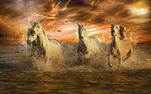 Фото Лошади Вода Белые Бег Брызги животное