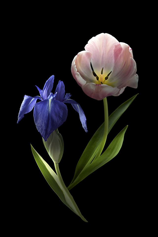 Фото 2 Тюльпаны Цветы Ирисы Черный фон Крупным планом 640x960 два две Двое вдвоем тюльпан ирис цветок вблизи на черном фоне
