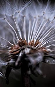 Фотографии Одуванчики Макро Крупным планом Черный фон Цветы