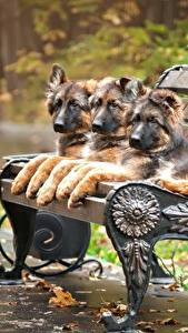 Картинки Собаки Немецкая овчарка Скамейка Щенка Трое 3 Животные
