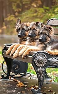 Картинки Собаки Немецкая овчарка Скамейка Щенка Три Животные