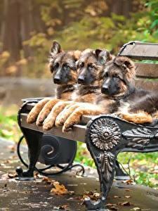 Картинки Собаки Немецкая овчарка Скамейка Щенок Трое 3 Животные
