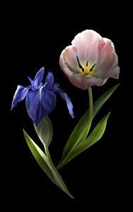 Фото Тюльпаны Ирисы Вблизи Черный фон 2 Цветы