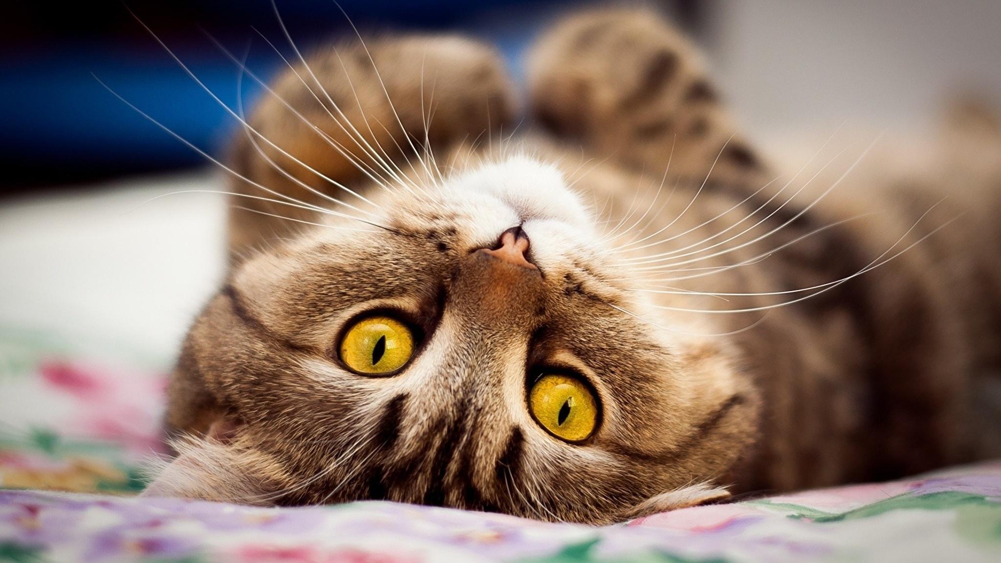 Умоляющий кот без смс
