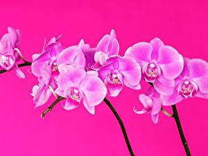 Фотографии Орхидеи Вблизи Розовая Цветы