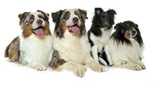 Картинки Собаки Белый фон Австралийская овчарка Язык (анатомия) Смотрят