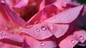 Картинки Розы Крупным планом Макро Розовый Лепестки Капли Цветы