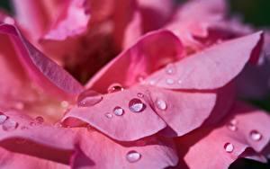 Картинки Розы Крупным планом Макро Розовая Лепестки Капля Цветы