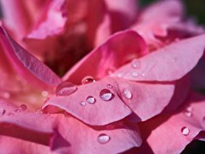 Картинки Роза Крупным планом Макро Розовая Лепестки Капля Цветы