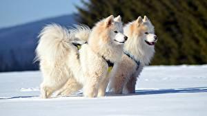 Обои Зима Собаки Самоедская собака Снег Двое Взгляд