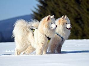 Обои Зима Собаки Самоедская собака Снег Двое Взгляд Животные